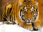 Powerful tiger HD