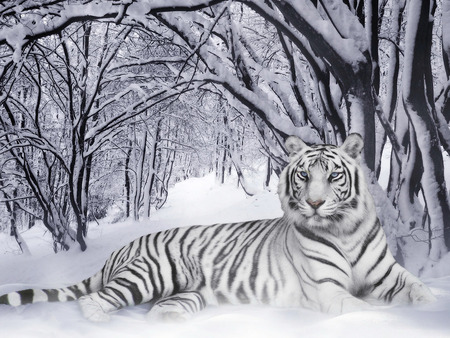 Tigre Branco - tiger, wildlife, white tiger, white, snow, mz, tigre