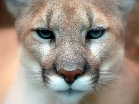 Cougar - Closeup - cougar, eyes
