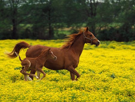 Running - nice, horse, field, horses, nature, animal, cavalos