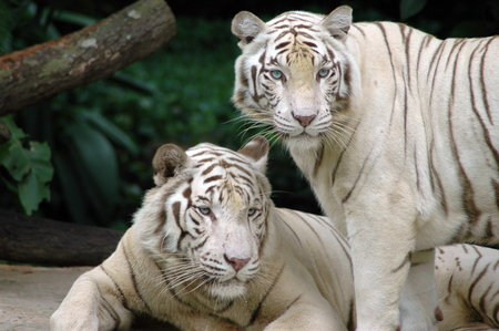 Two White Tigers - white tiger, white-tigers, animal, tiger, white tigers, tigre branco, tigers