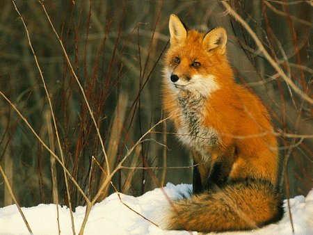 Red fox - red fox, animal, fox, raposa vermelha
