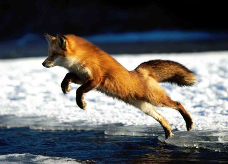 Red Fox Jumping - red fox, animal, fox