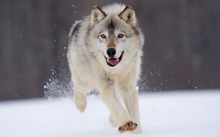 here he comes - cool, winter, running, snow, wolves, hd, nice, cute, widescreen, beautiful, pretty, wolf, white
