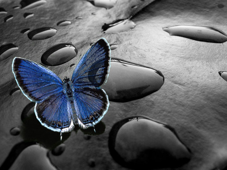 Beautiful Butterfly - artistic, beautiful, black, blue, drops, lovely, beauty, rain, water, butterfly, nice, photography, butterflies, blue butterfly, nature