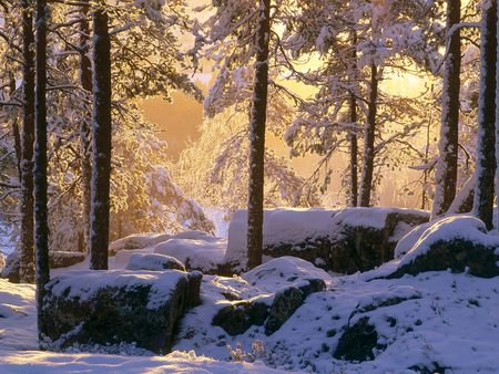 Snowy Pine Forest   - sun light, rocks, forest, snow