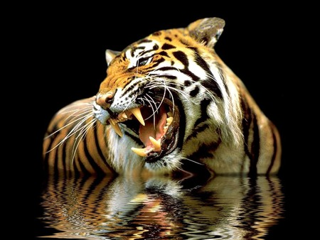 Dangerous tiger - animal, tigres, tiger, tigre