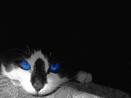 Tuxedo Blue - kittens, animals, cats