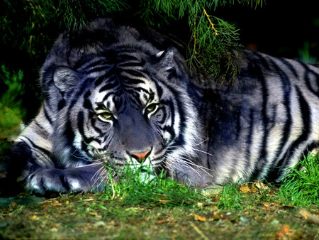 A Maltese Tiger - animals, tigers, big cats, cats