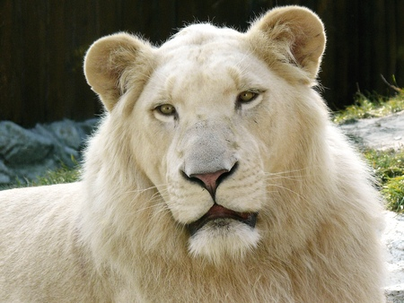 Male White Lion - animals, big cats, lion, cats, white lion