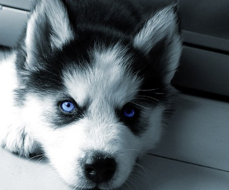 Siberian Husky Puppy - dog, husky, siberian husky, cachorro, puppy, animal