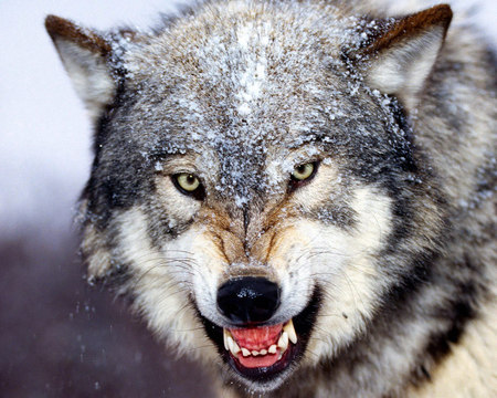 Bared Teeth Gray Wolf - lobo, smiling, mad, danger, sad, wolf