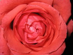 a closeup of a rose