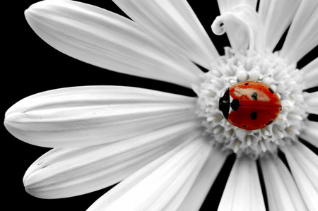 Lady on a daisy - flower, nature, ladybug