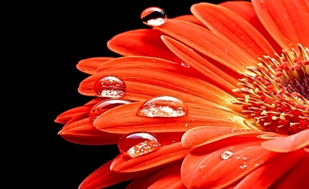 Lovely - petals, dew, nice, diamonds, flower, nature, daisy, lovely, beautiful, flowers, drops, orange, water