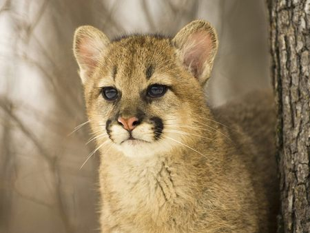 Cougar-Cub - Cats & Animals Background Wallpapers on Desktop Nexus ...