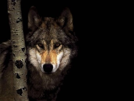Wolf - lonely, lobo, loups, animal, wolf