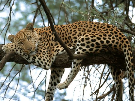 Leopard - leopard, leopard in a tree, feline, animals, rest, cat nap, cat, tree