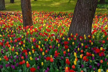 Field Of Tulips - flowers, beautiful, tree, yellow, purple, grass, tulip, red, green, trees, colorful, field, colors, color, lovely, tulips, nature