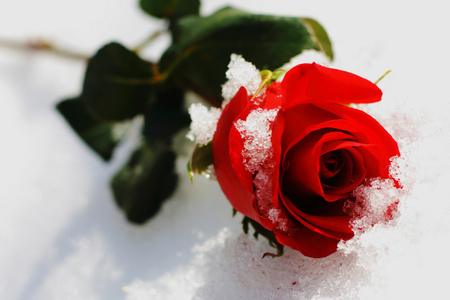 Frozen rose flowers nature background wallpapers on - Rose in snow wallpaper ...