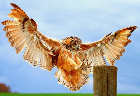 PERFECT LANDER     ( Rock Eagle Owl) - owl, eagle, wood, landing, raptor, bengal