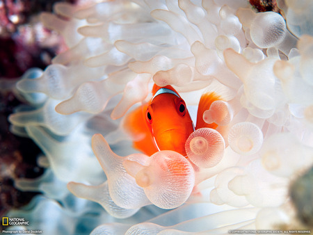 Clownfish and Bubble-Tipped Anemone - cool, marine life, ocean, nature, fish