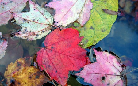 Autumn Leaves - leaves, water, nature, autumn, colourful