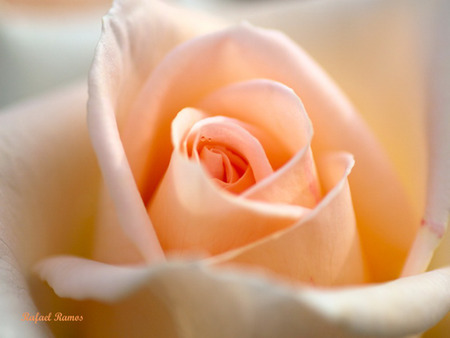 Peach rose jpg flowers nature background wallpapers - Peach rose wallpaper ...