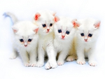 WHITE PURR FECT KITTIES