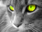 Yellow-Eyed-Cat
