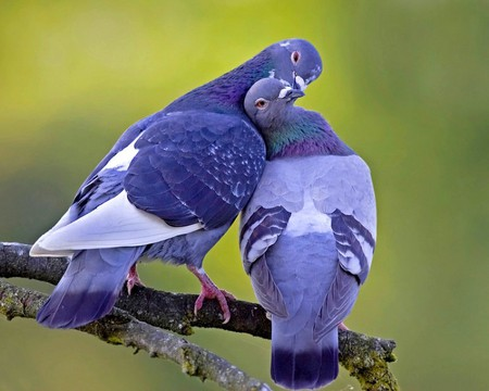 Love Birds - picture, love birds, beautiful
