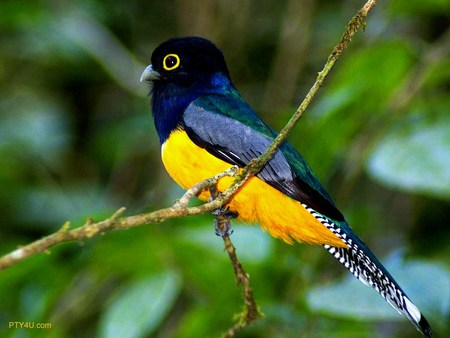 Bright bird of South America - bird, black, blue, south america, navy, yellow