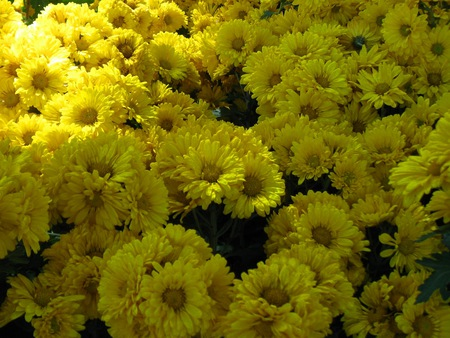 Yellow Flowers Scenery Field Ooty Flower South India