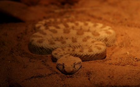 Evil  Snake - mean, snakes, venomous snakes, animals, poisonous snakes, rattlers, evil, reptiles