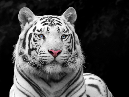 Pretty Tiger - animals, abstract, big cats, photoshop, art, photo manipulation, cats, tiger, tigers