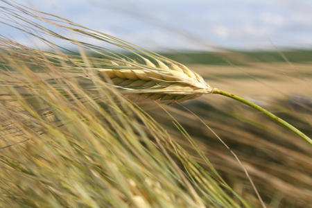 Single Wheat Stalk - Fields & Nature Background Wallpapers ...