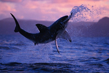 Great White Shark Breaching - animals, fish, breaching, white, oceans, great white, great white shark, shark