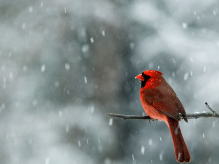 Cardinal in Snow - north carolina, snow, red cardinal, red, cardinal, snowing