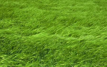Grass - green, nice, beautiful, grass, nature, wind