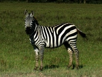 a domesticated zebra