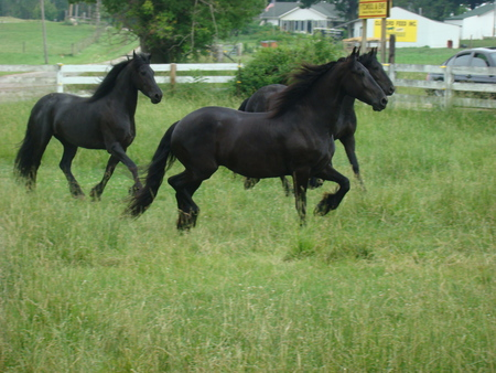 a herd of freason horse - three, blackred, gelding, one, black, horses, two