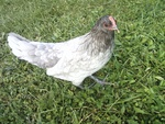 Blue Andalusion hen