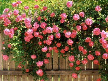 Pink Roses - rose, climbing roses, romantic roses, l hate flowers, roses, peaceful pickets, beta
