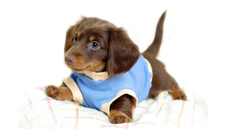 Dressed cute dog - animal, dress, pet, dog, cute