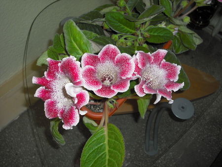 Gloxinia - gloxinia, flowers, nature, beauty