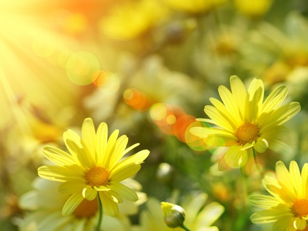 Burst of Summer Sunshine - flowers, summer, daisies, orange, sunshine, sun rays, yellow