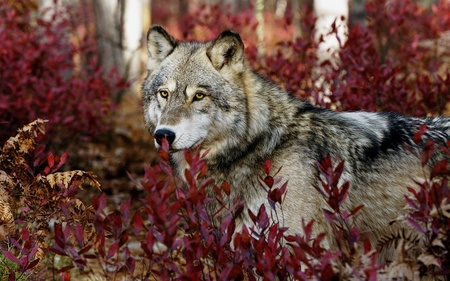 Gray Wolf - animals, forests, leaf, gray wolf, wolf, gray