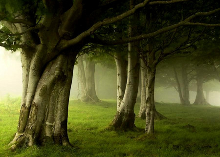 Oz Forest - trees, mist, fog, grass, beech trees