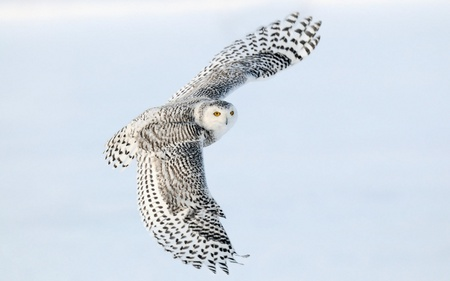 Snowy Owl - owl, animals, white, snowy owl, birds