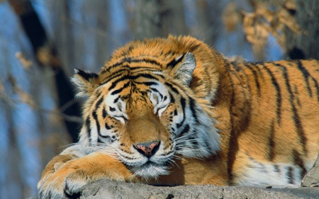 Sleeping Siberian Tiger - siberian tiger, tiger, animals, beautiful, cats, russia
